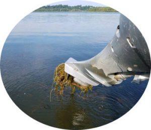Eurasian Milfoil in Vancouver Lake