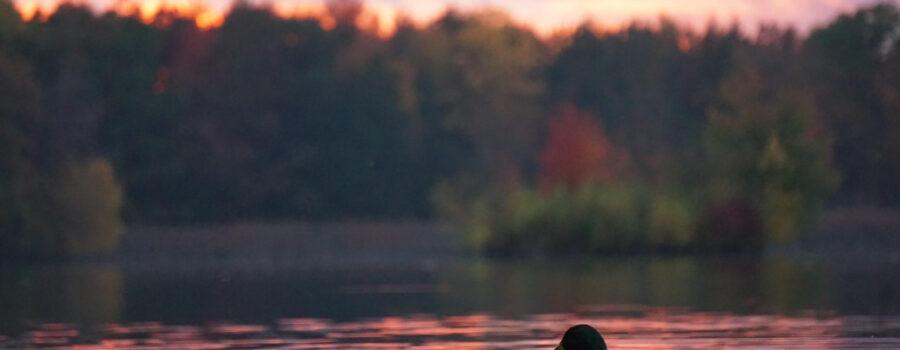 Milfoil follow-up survey in Lake River