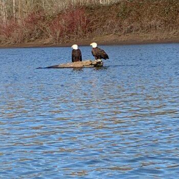 Bald Eagles on Vancouver Lake
