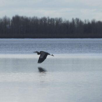 Blue Heron Vancouver Lake