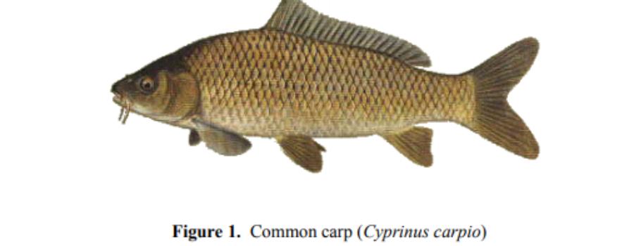Carp in Vancouver Lake & Columbia River