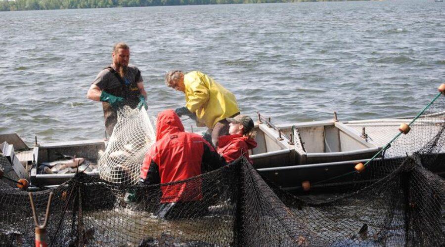 Carp Netting Ends For Season
